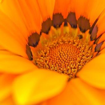 Cape Basket, Flower, Spanish Marguerite, Composites
