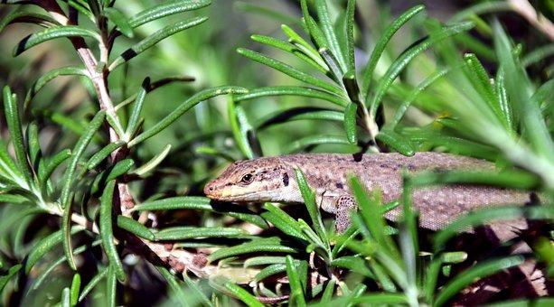 Lizard, Reptile, Animal, Creature, Nature, Rosemary