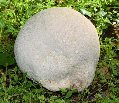 Growing Puffball, Volleyball Size, Fungi, Mushroom