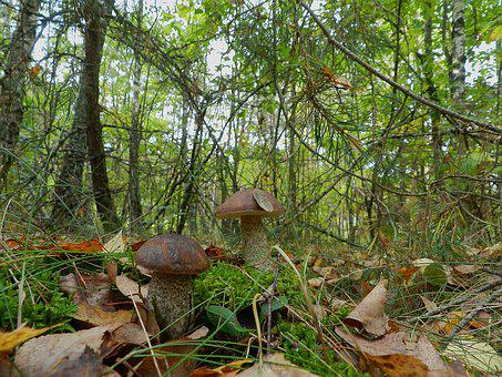 Brothers, Mushrooms, Boletus