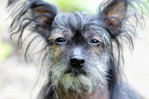 Chinese Crested Dog, Hairless Dog, Natural, Modified