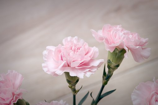 Cloves, Pink, Carnation Pink, Flowers, Pink Flowers