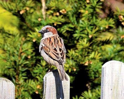 Sperling, Sparrow, Close, Nature, Sparrows, Animal
