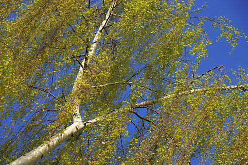Birch, Spring, Nature, Recovery, Green, Moist, Light