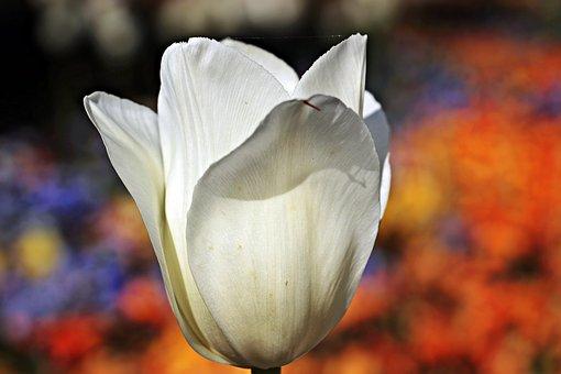 Tulip, Flower, Blossom, Bloom, Nature, Sunlight, White
