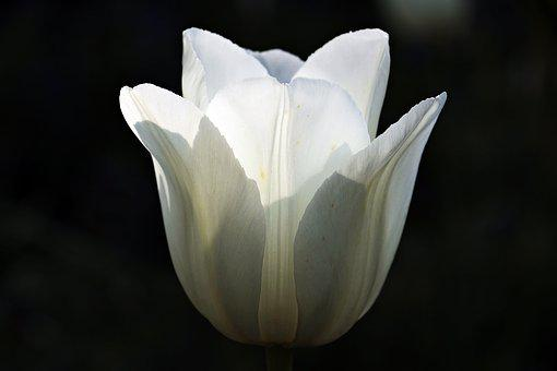 Tulip, Flower, Blossom, Bloom, Nature, Sunlight, White