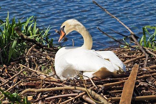 Swan, Nest, Nature, Breed, Swan's Nest, Animal, Hatch