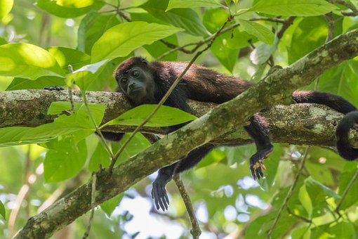 Howler Monkey, Monkey, Rainforest, Tropics, Climb, Tree