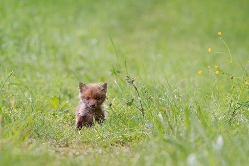 Fuchs, Young Fox, Wild Animal, Fox Puppy