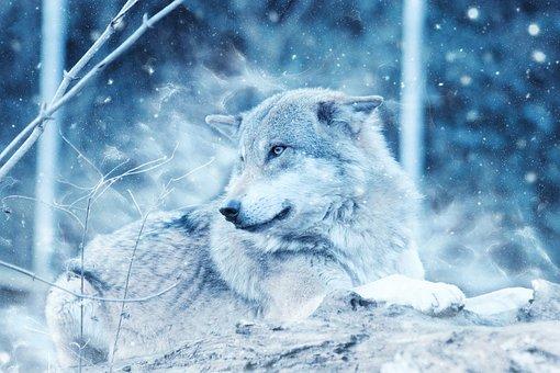 Wolf, Animal, Snow, Winter, Predator, Lying Down