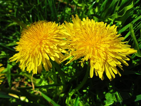 Dandelion, Yellow, Flower, Hundeblume, Summer Meadow