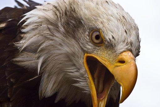 Adler, White Head, Bird Of Prey, Bird, Bald-eagle