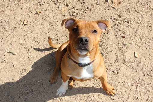 Puppy, Dog, Staffy, Doggy, Pup, Brown, Adorable