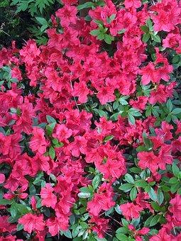 Camelia, Pink, Blossom, Bloom, Plant, Flower, Nature
