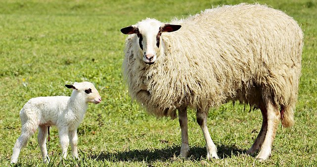 Lamb, Sheep, Animal, Cute, Sweet, Animal World