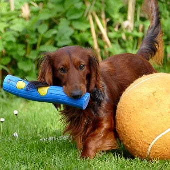 Dachshund, Dachshund Dog, Dog, Play