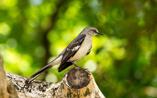 Mocking Bird, Florida, Bird, Grey, Sings, Mockingbird