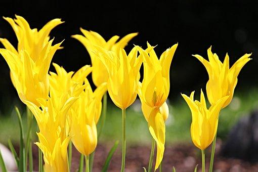 Tulips, Yellow, Flowers, Spring, Flower, Spring Flower