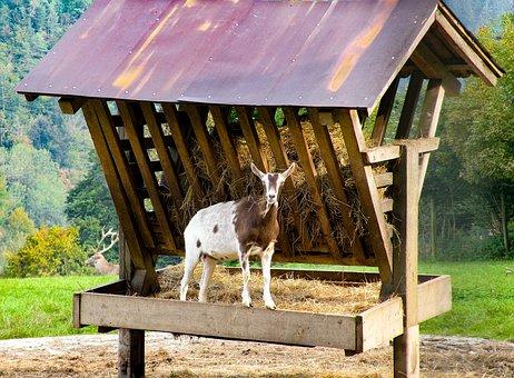 Goat, Manger, Nature, Animal, White, Brown, Food