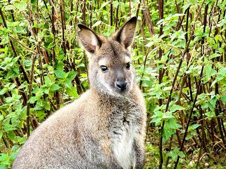 Kangaroo, Animal, Mammal, Brown, Australia, Jump