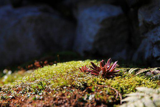 Red Stonecrop, Moss, Mohakert, Plant, Colors, Nature