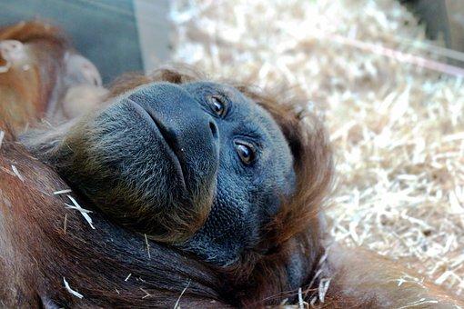 Orangutan, Monkey, Lies, Head, View, Eyes, Primacy