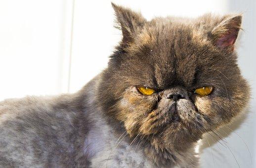 Cat, Persian, Persian Cat, Animal, Persian Blue, Feline