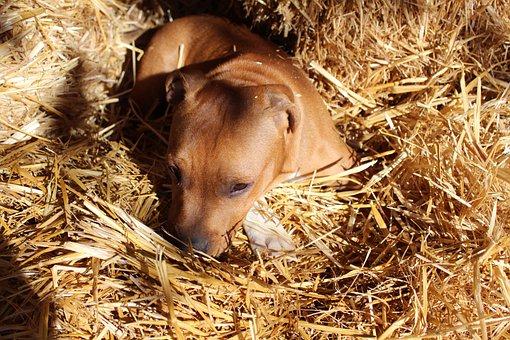 Puppy, Dog, Staffordshire, Staffy, Doggy, Canine, Pet