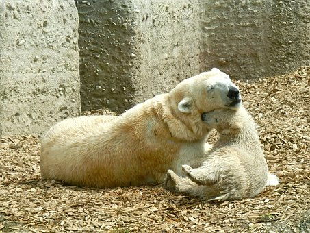 Polar Bear, Mother And Child, Polar Bear Cub
