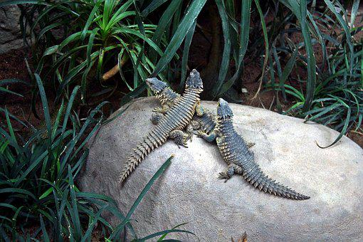Animals, Reptile, Salamander, Geckos, Lizards, Trio