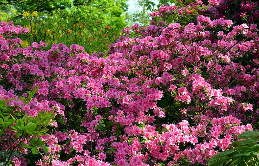 Azalea, Rhododendron, Flowers, Spring, Bloom, Close Up