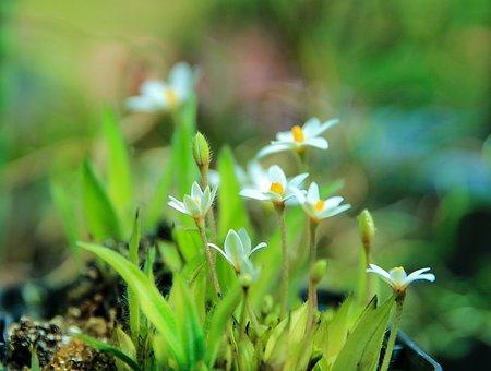Rhodohypoxis Baur In White, African Flower