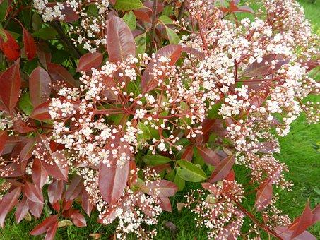 Flower, Shrub, Nature, Garden, Red Leaves, Plant