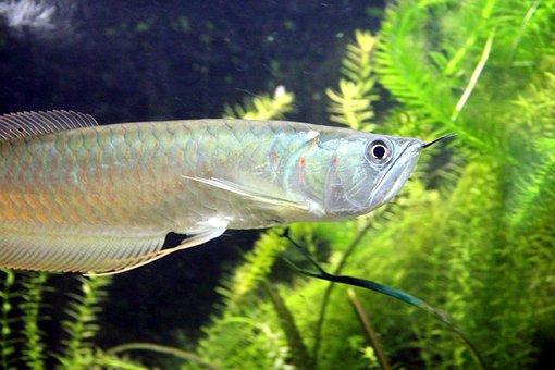 Silver Arovana, Osteoglossum Bicirrhosum, Fish