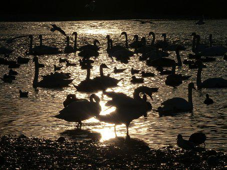 Swan, Shadow, Swans, Water, Mirroring