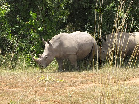 Rhino, White Rhino, Uganda, National Park