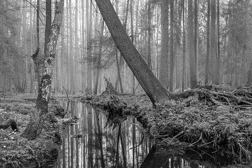 Forest, Trees, Water, River, Białowieska, Puszcza