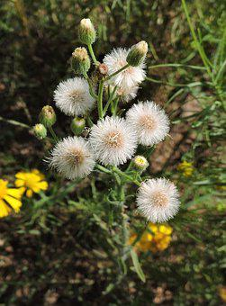 Dandelions, Weed, Spring, Nature, Plant, Natural
