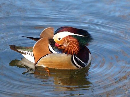 Mandarin Ducks, Aix Galericulata, Males, Glory Dress