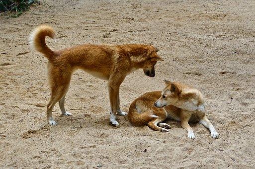 Dingo, Dog, Australian, Wild, Predator, Canine