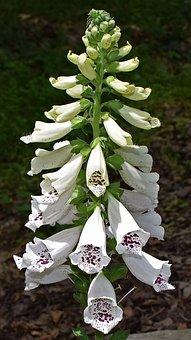 Foxgloves, Flower, Blossom, Bloom, Plant, Medicinal