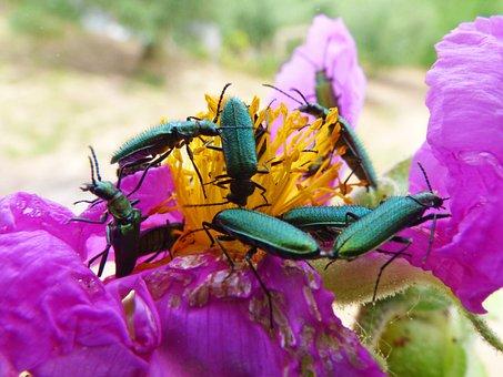 Psilothrix Viridicoerulea, Green Beetle, Insects, Bugs