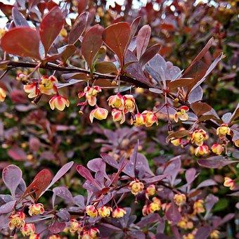 Blood Barberry, Red Leaves, Bush, Plant, Blade Mandrel