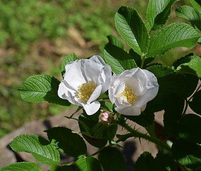 Palest Pink Roses, Rugosa Rose, Pale Pink, Flower