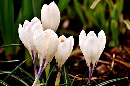 Crocus, Flower, White, Blossom, Bloom, Spring, Nature