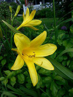Day Lily, Yellow Lily, Landrace Plant, Garden Plant