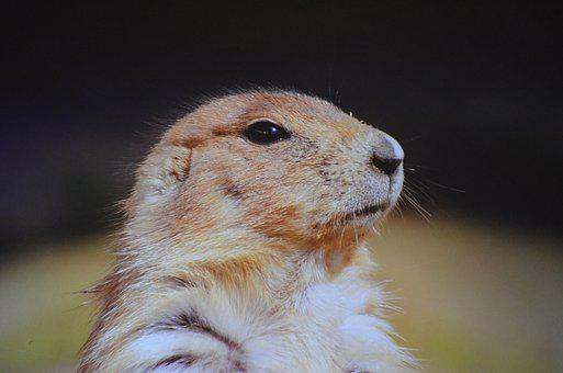 Black-tailed-prairie-dog, Prairie-dog, Ground-squirrel