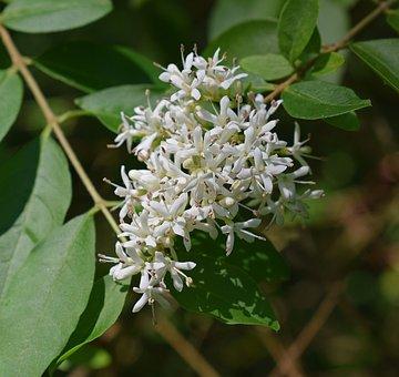 Honey Locust Flowers, Blossom, Bloom, Shrub, Plant
