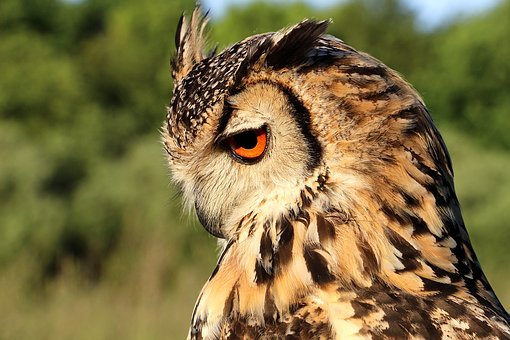 Hornugle, Owl, Evening