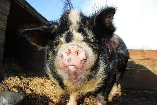 Kunekune, Kune Kune, Pig, Animal, Adorable, Piggy